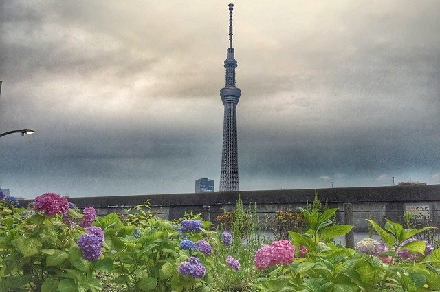 Hydrangea and Tokyo Skytree near Asakusa Sumida River Garden Terrace