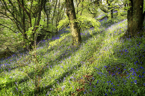wood flowers blue light tree bells forest carpet land