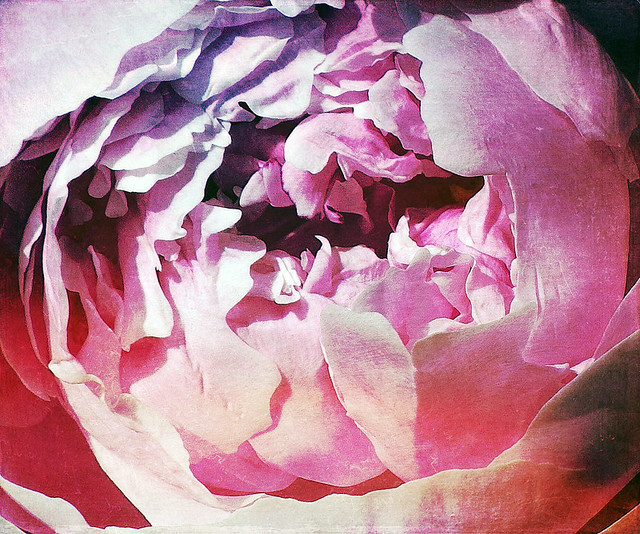 Pink peony in the photo app Stackables