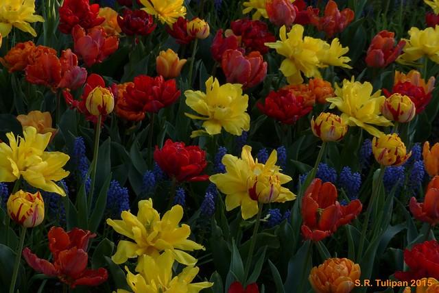 Britzer Garten Tulipan 06.05.2015  148
