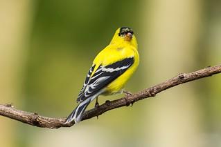 American Goldfinch | Lexington, KY