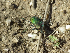 Same tiger beetle
