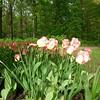 Розовые тюльпаны #фестивальтюльпанов #цпкиокирова