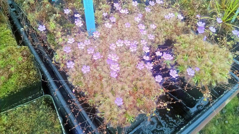 Drosera omissa × pulchella at Predatory Plants.