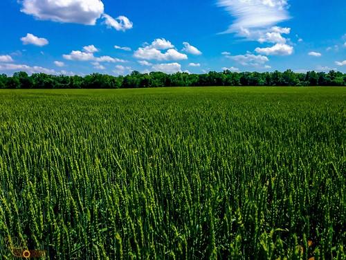 The Green Wheat Field