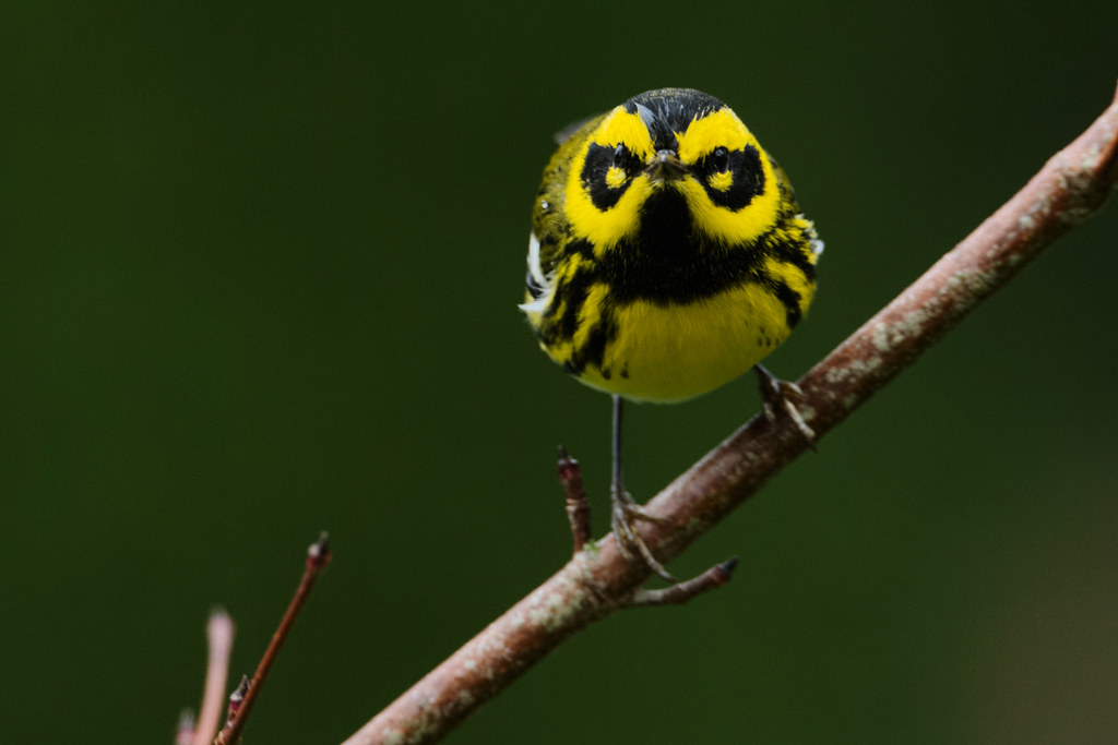 A male Townsend's warbler perches in our dogwood