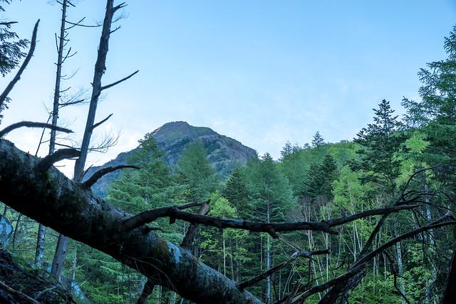 南沢の樹林帯から阿弥陀岳を見上げる