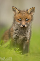 HolderRed fox cub