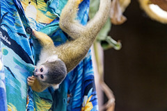 Squirrel monkey on the shirt