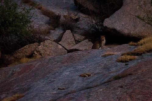 Leopard, Jawai, Rajasthan