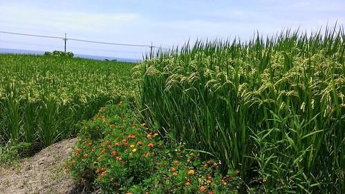 以各種綠色植物和花朵在田埂上構築指標物種棲地(花改場提供)