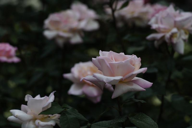バラ園とS-Planar