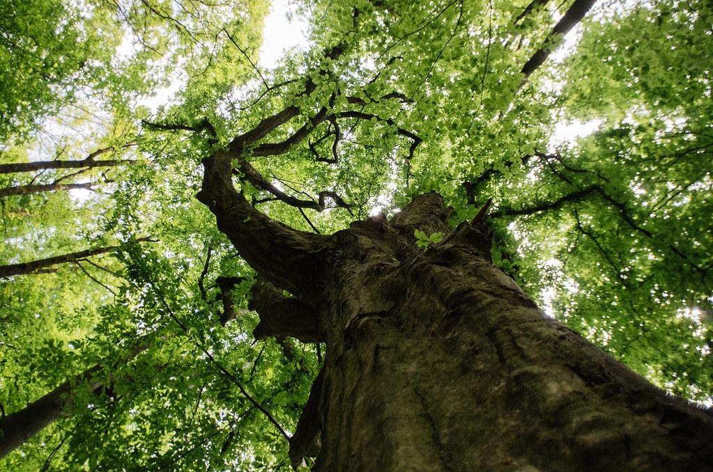 Tourisme vert en France -Ardennes - Les volutes du hêtre