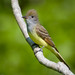 Great Crested Flycatcher by Sed Navs