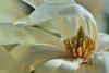 Magnolia Macro