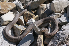 animal, serpent, snake, reptile, fauna, viper, scaled reptile, kingsnake,