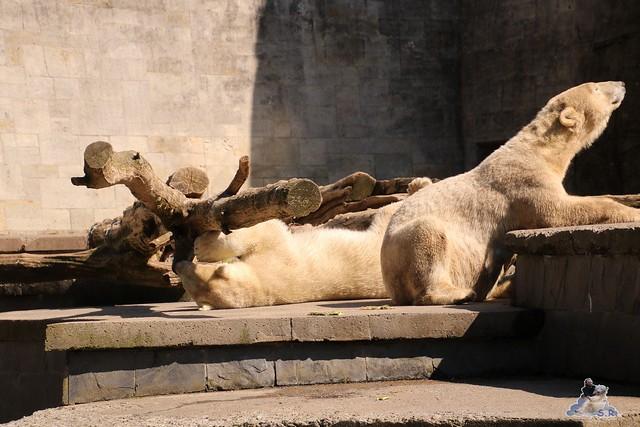 Eisbär Fiete im Zoo Rostock 07.05.2016  0308