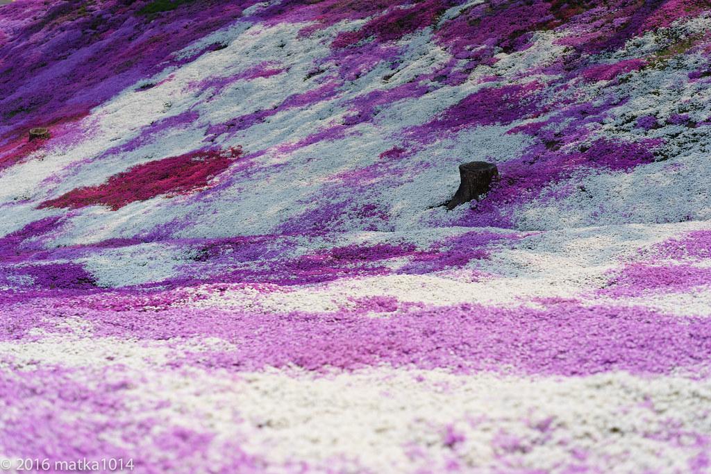 東藻琴芝桜公園-12
