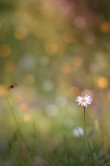 Daisy and flying ladybug