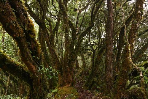 3-1 清水大山的霧林,有著扭曲糾結的樹幹,以及低矮的樹冠層,與北東眼山挺拔的森林成一明顯對比(圖片攝影:徐嘉君)