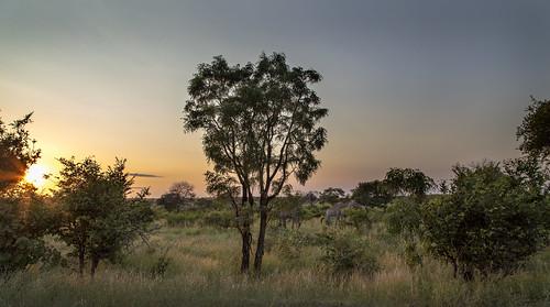sunrise southafrica giraffes giraffe krugernationalpark mpumalanga krugerpark kruger kameelperd phabeni phabenigate krugersunrise