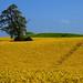Tree in a  Rapeseed field by Ostseetroll