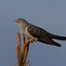 Cuco-canoro, Common Cuckoo(Cuculus canorus) - em Liberdade [in Wild] by xanirish