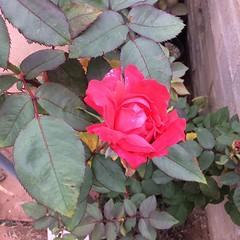 annual plant(1.0), shrub(1.0), garden roses(1.0), floribunda(1.0), flower(1.0), leaf(1.0), plant(1.0), flora(1.0),