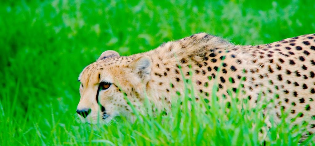 Cheetah (Acinonyx jubatus)_8