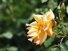 Rose, Autumn Sunset, バラ, オータム サンセット,