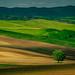 Tree in a field by Sergiu Bacioiu