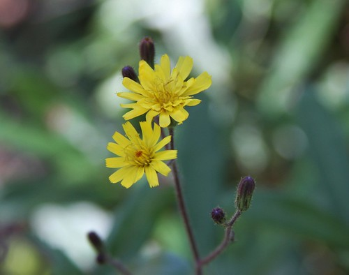 nature outdoors florida blossom native may wildflower asteraceae hawkweed bushnell hieraciumgronovii queendevil dadebattlefieldhistoricalstatepark