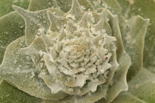 Verbascum thapsus - bouillon blanc 26984052601_44e0b3383d_z