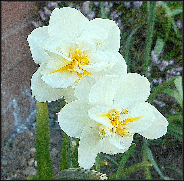 Two Narcissus Flowers ..