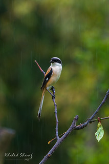 Long Tailed Shrike (Lanius schach) 大红背伯劳 dà hóng bèi bó láo