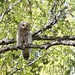 Female Ural Owl (Daniel Green) (2)