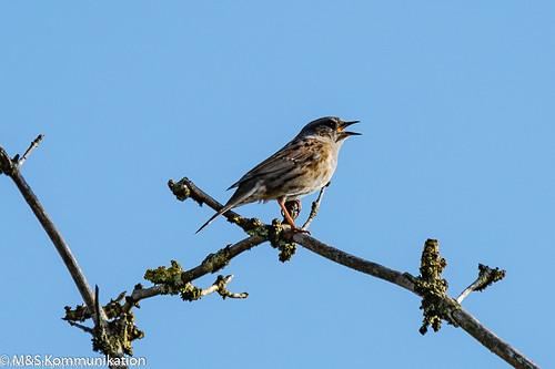 Spatz aufgenommen im heimischen Garten - Sparrow photographed in the home garden
