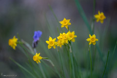 Narcissus assoanus-sbps  rivasmartinezii-