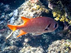 Blotcheye Soldierfish