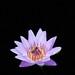 Lotus macro #lotus #macro #iphonex