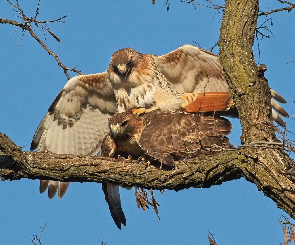 Hawk love