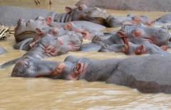 Hippos (Hippopotamus amphibius) resting on the shores of Lake St Lucia ...