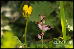 Common Fumitory (( think)