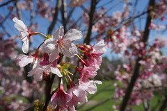 Cherry Blossoms (3/4)