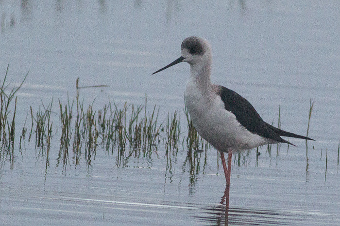 White-headed Stilt  - immature