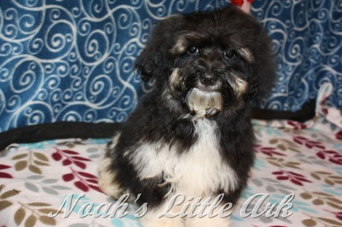 Sold Puppies In South Carolina Noahs Little Ark