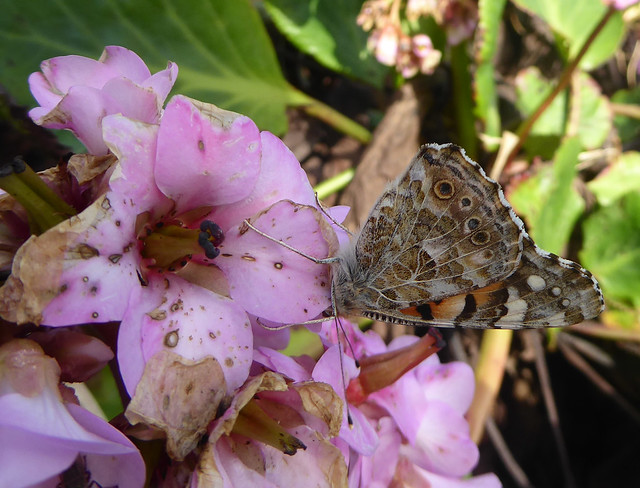 painted lady butterfly on bergenia