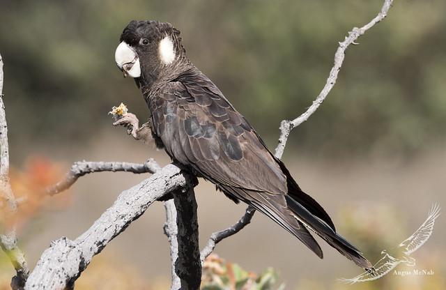 Carnaby's Black-cockatoo (Calyptorhynchus latirostris)