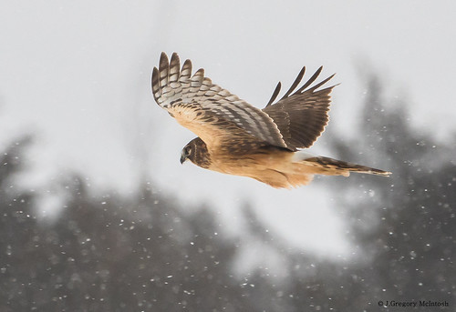 Northern Harrier Flyby