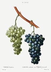 Grape vine (Vitis vinifera) illustration from Traité des Arbres